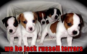 we be jack russell terrors
