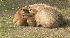 8 Videos of Capybaras Being Adorable