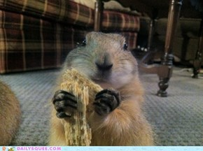Lily the Prairie Dog