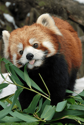 Red Pandas Are Pretty Cute