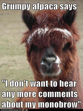 "Grumpy alpaca says  ""I don't want to hear any more comments about my monobrow"""