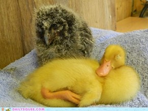Duck and Owl Nap Together