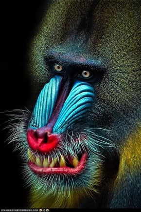 Mandrill by N. Manuel