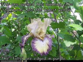 "This one opened this morning. The ""standards"" are the palest yellow.  The ""falls"" are edged in purple."
