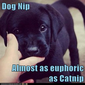 Dog Nip  Almost as euphoric as Catnip