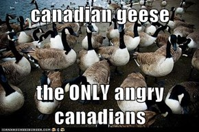 canadian geese  the ONLY angry canadians