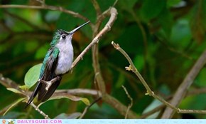 Scaly breasted hummingbird