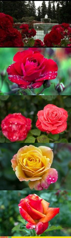 San Jose Rose Gardens 1
