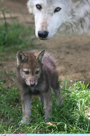 Mom and wolf pup