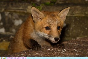 Permuted fox cub