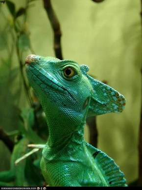 Plumed Basilisk Lizard by JS Muller