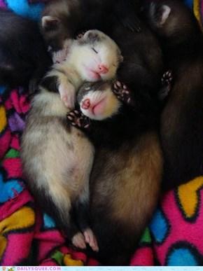Ferret cuddling buddies