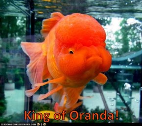 King of Oranda!