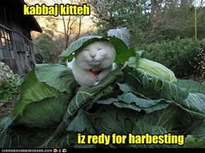 kabbaj kitteh