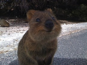 Squee Spree Winner: Quokka