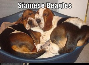 Siamese Beagles