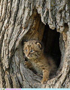 "Baby Bobcat ""Be back soon mom!"""