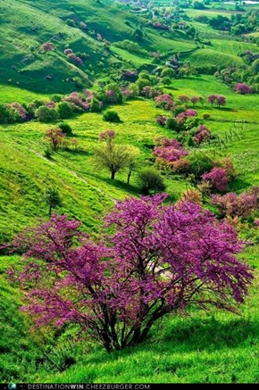 Koutsoupia, the Judas tree