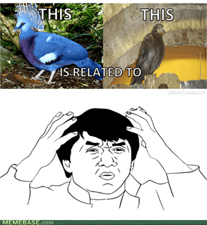 Blue crowned pigeon vs. the feral pigeon