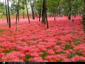 Red Spider Lily Meadow