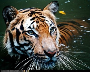 Happy Birthday, Serapis. I know a tiger that loves baths.