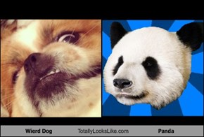Wierd Dog Totally Looks Like Panda