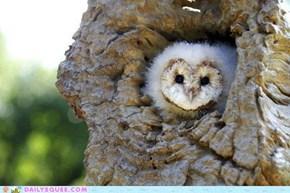 Barn Owl Babe