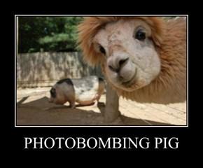 PHOTOBOMBING PIG