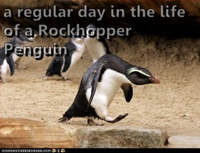 a regular day in the life of a Rockhopper Penguin