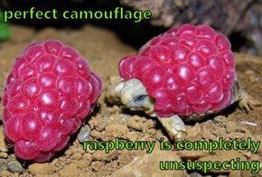 perfect camouflage  raspberry is completely unsuspecting