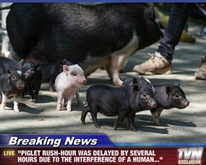 "Breaking News - ""PIGLET RUSH-HOUR WAS DELAYED BY SEVERAL HOURS DUE TO THE INTERFERENCE OF A HUMAN..."""