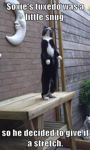 Soxie's tuxedo was a little snug,  so he decided to give it a stretch.