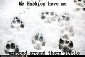 My Huskies have me   wrapped around there little