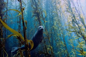 Seal in Kelp