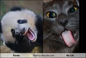 Panda Totally Looks Like My Cat