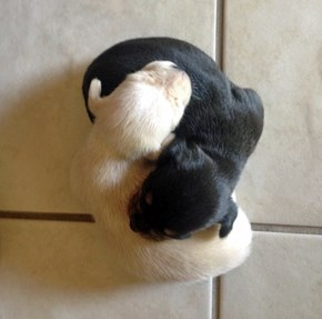 Ying and Yang Puppies