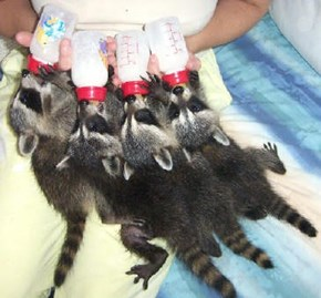 Bottle Feeding Baby Raccoons