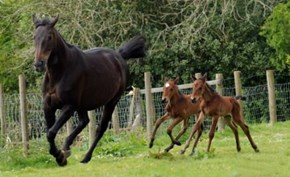 Twin foals Leo and Corby chase their mother Georgie