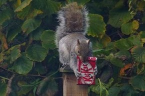 Squirrel caught on camera eating a KitKat