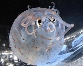 Creepicute Piglet Squid