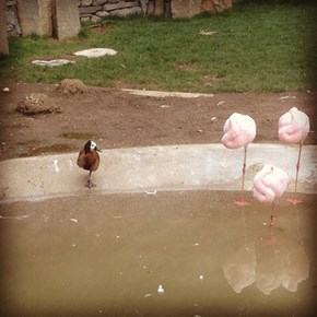 Little Duck Wants to Be Like the Flamingos