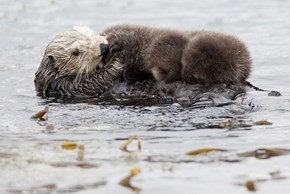 Baby Baby sea otters