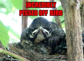 INCREDIBLY PISSED OFF  BIRD