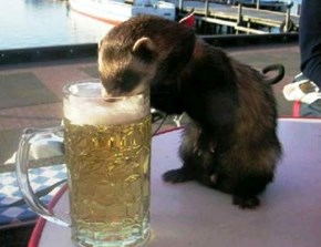 Crunk Critters: Ferrets Prefer Light Beer