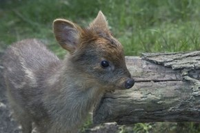 One Pount Pudu Fawn