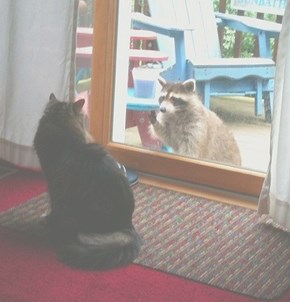 our cat baby, and our pet raccoon louise saying hello...LOL!!