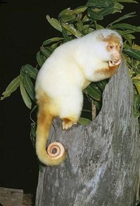 Male Spotted Cuscus Australia