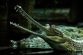 Gharial India Crocodile