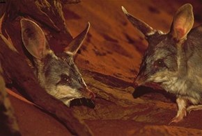 Greater Bilbies Australia