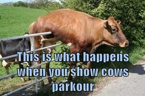 This is what happens when you show cows parkour